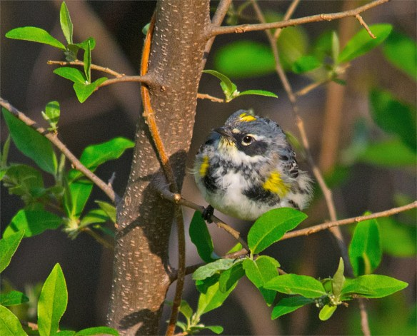 Yellow Rumped Warbler 204