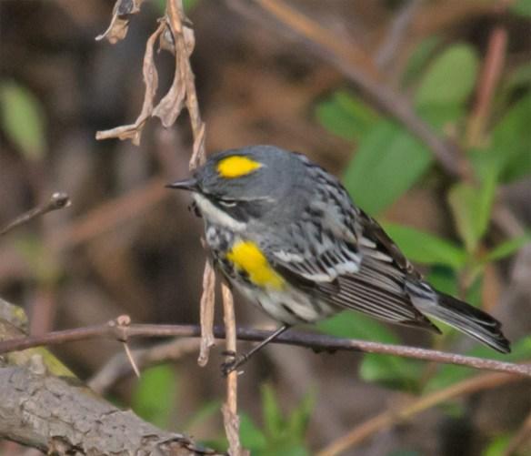 Yellow Rumped Warbler 206