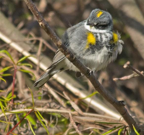 Yellow Rumped Warbler 209