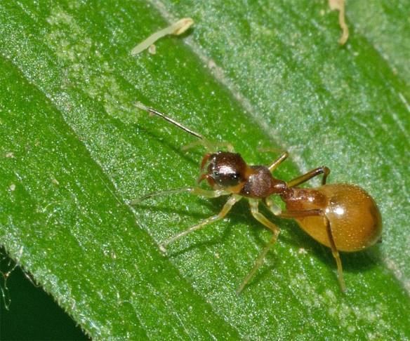 Ant 35