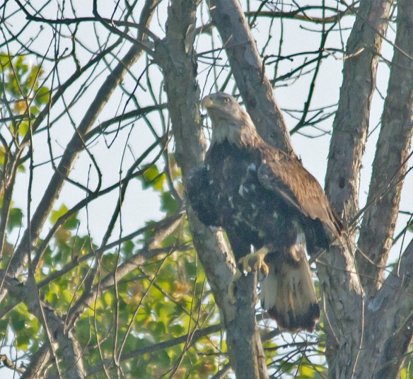 Bald Eagle 416