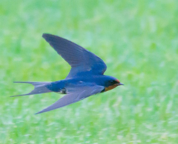 Barn Swallow 20