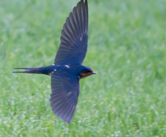 Barn Swallow 23