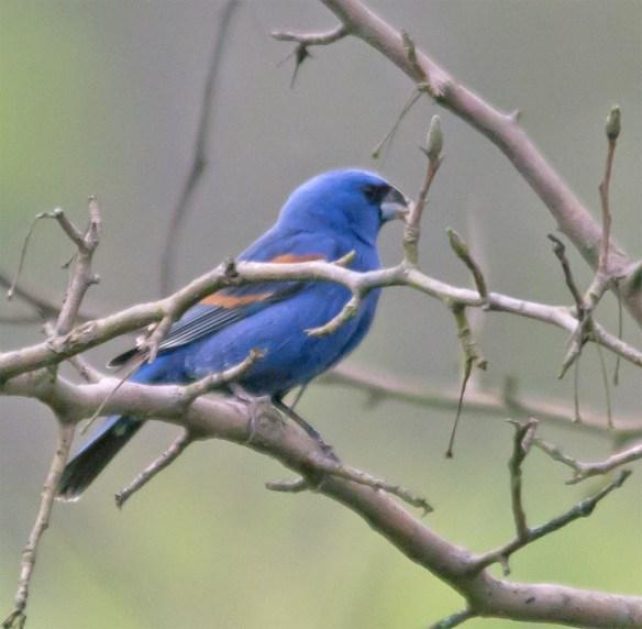 Blue Grosbeak 203