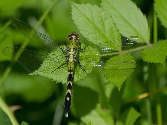 Dragonfly 45