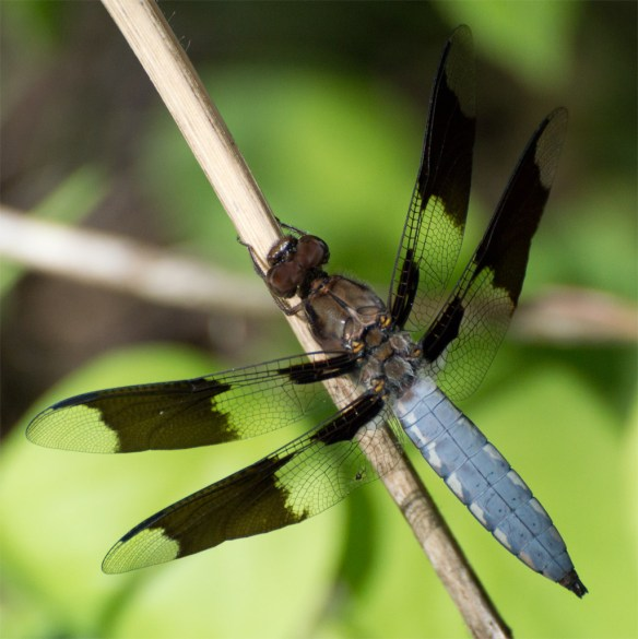 Dragonfly 48
