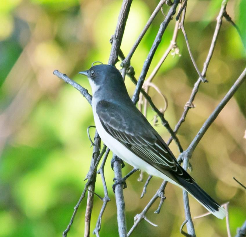 Eastern Kingbird 110