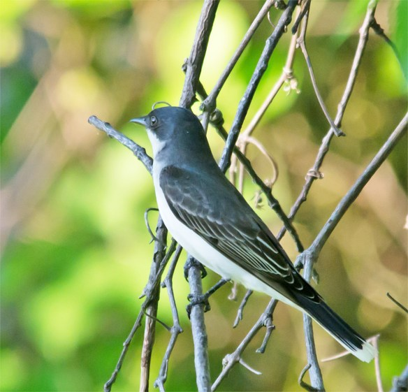 Eastern Kingbird 110