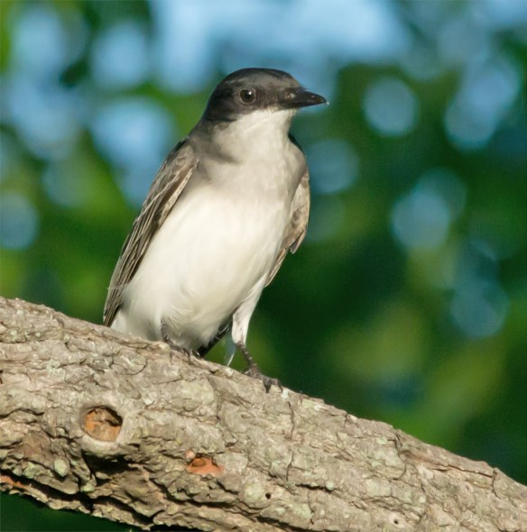 Eastern Kingbird 111