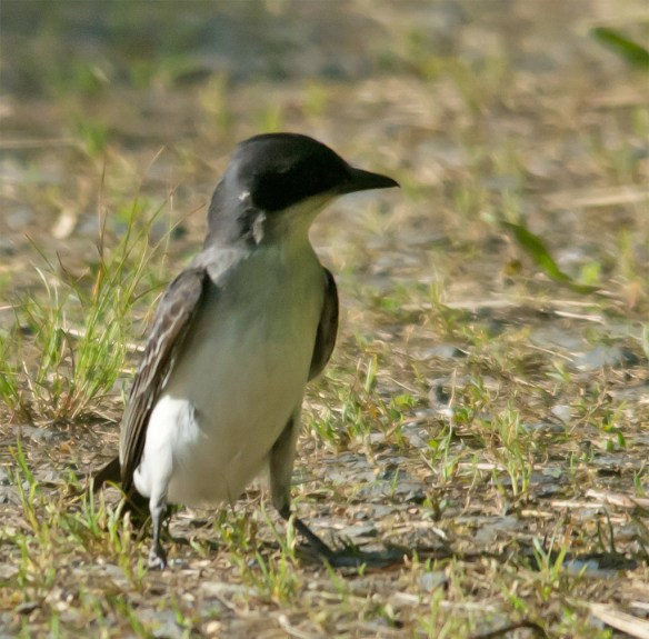 Eastern Kingbird 112