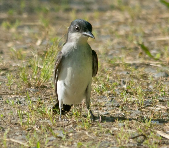 Eastern Kingbird 113