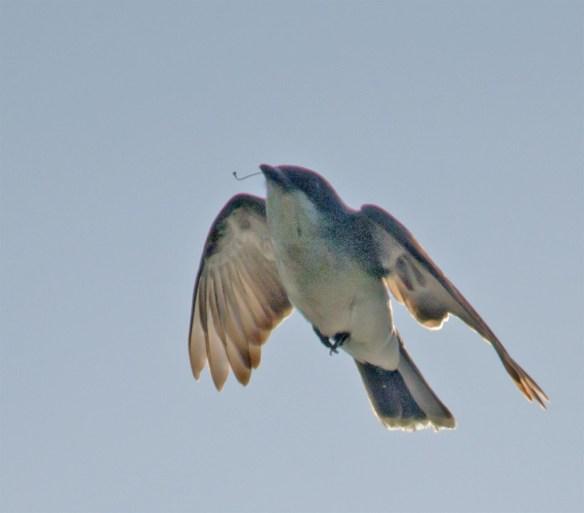 Eastern Kingbird 115