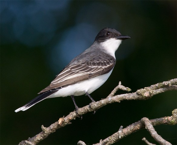 Eastern Kingbird 117