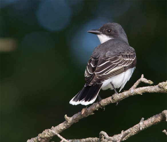 Eastern Kingbird 118