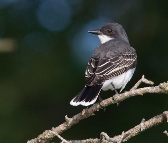 Eastern Kingbird 118
