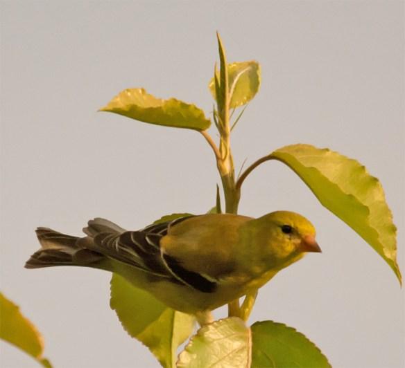 Goldfinch 205