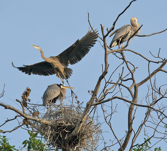 Great Blue Heron 313