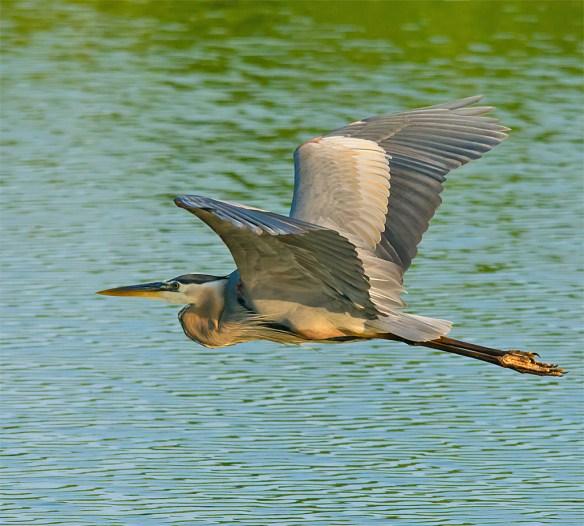 Great Blue Heron 317