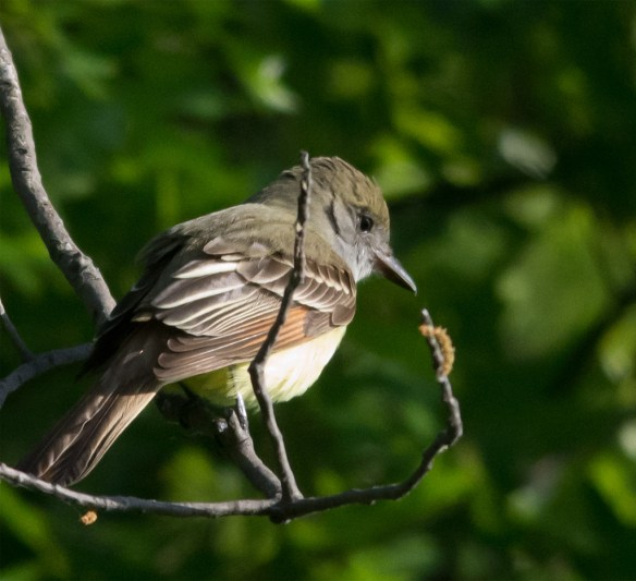 Great Crested Flycatcher 203