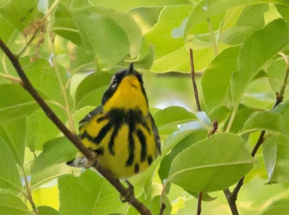Magnolia Warbler 201