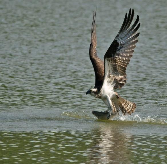 Osprey 337