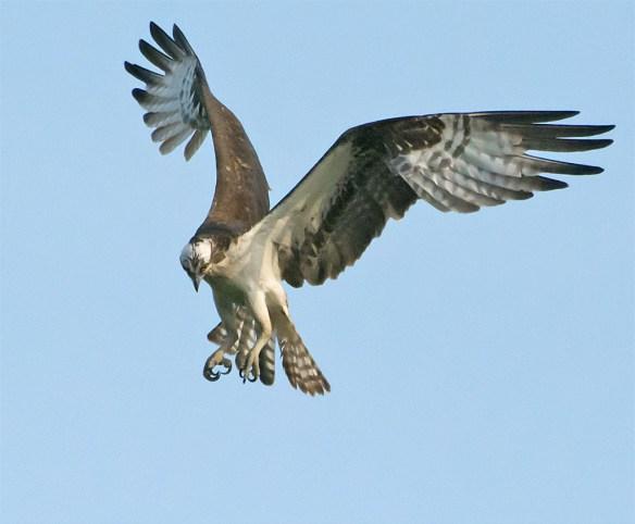 Osprey 339