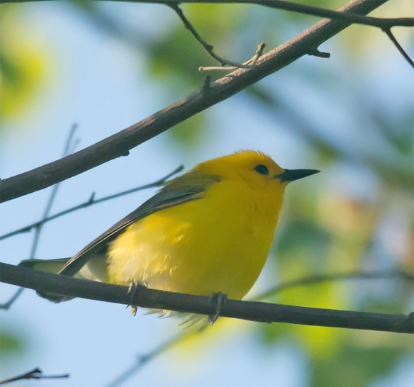 Prothonotary Warbler 138