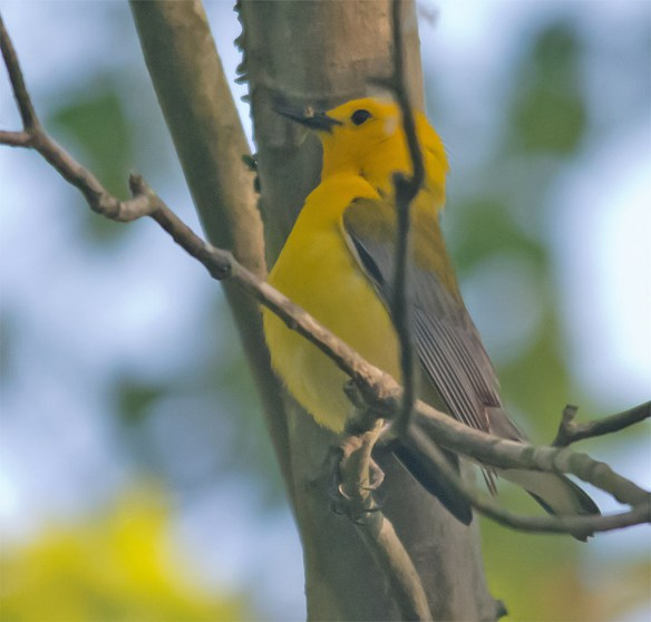 Prothonotary Warbler 140