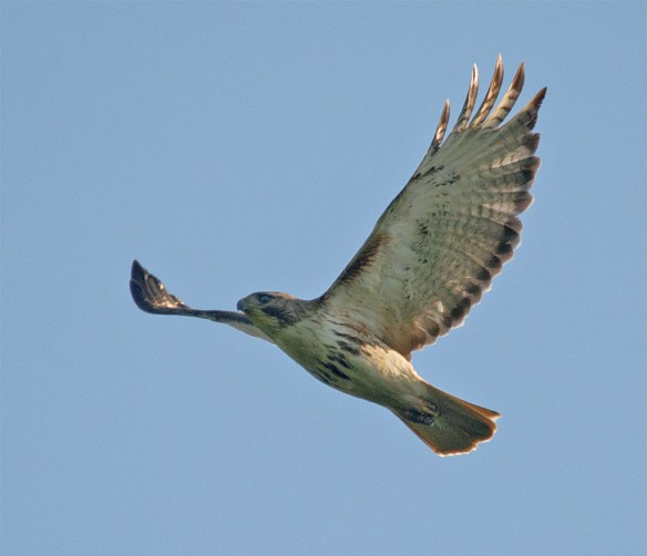 Red Tailed Hawk 107