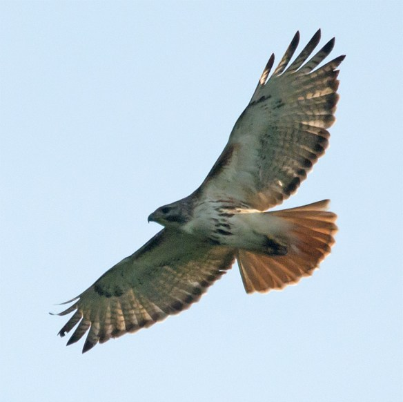 Red Tailed Hawk 108