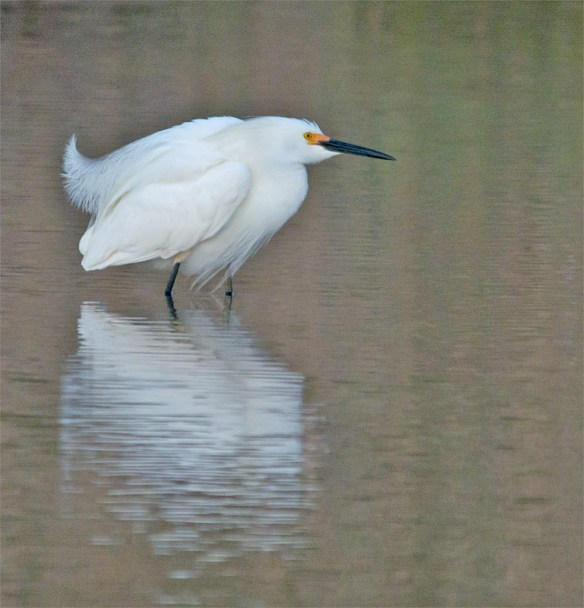 Snowy Egret 122