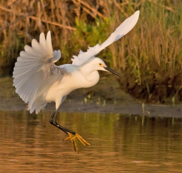 Snowy Egret 124