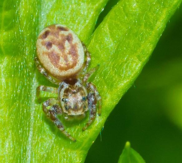 Spider 237