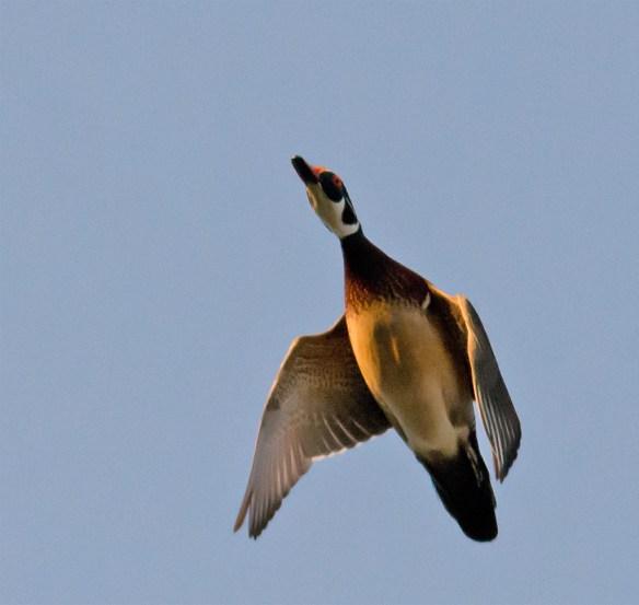 Wood Duck 257