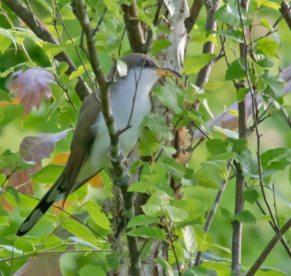 Yellow Billed Cuckoo 101