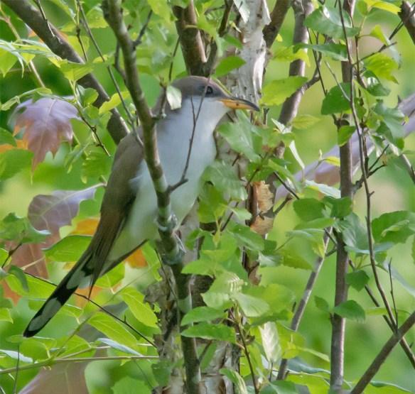 Yellow Billed Cuckoo 101