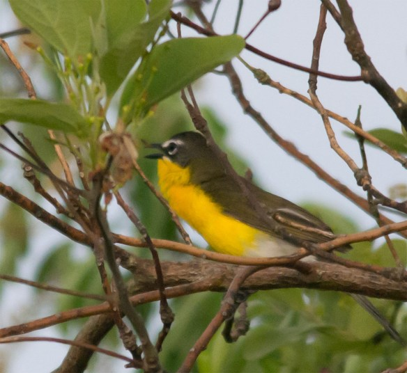 Yellow Breasted Chat 202
