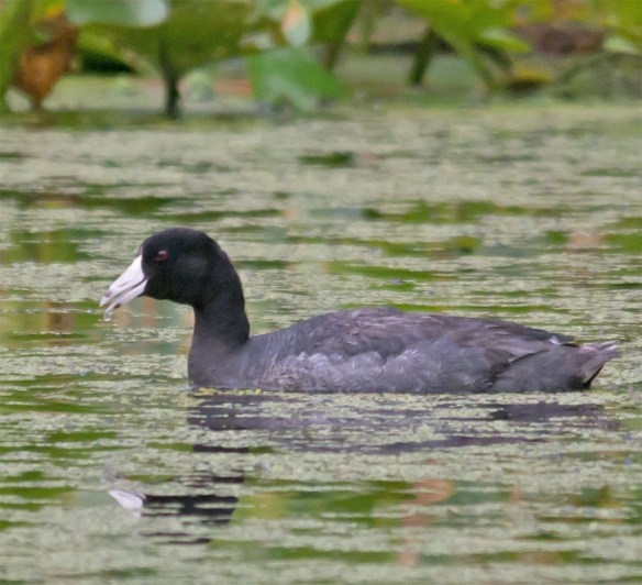 American Coot 102