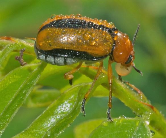 Beetle 13