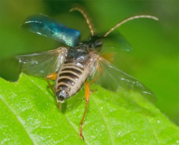 Beetle 14