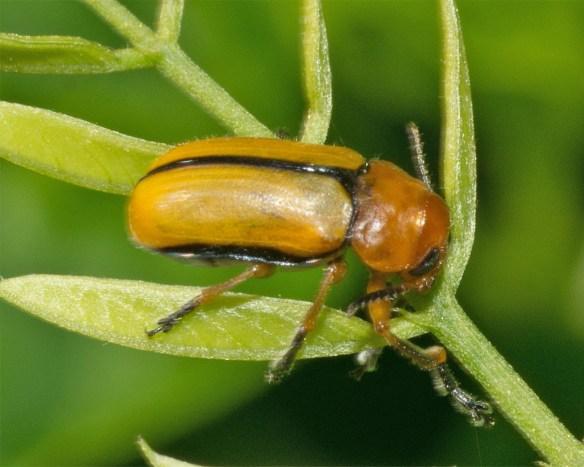 Beetle 18