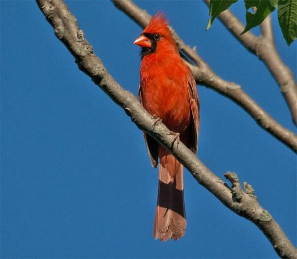 Cardinal 199