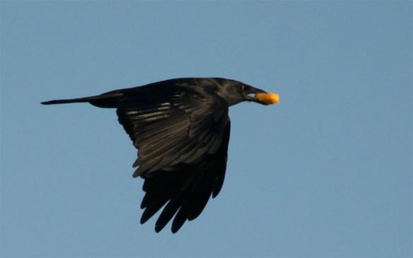 Crow 106