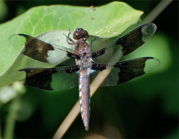 Dragonfly 56