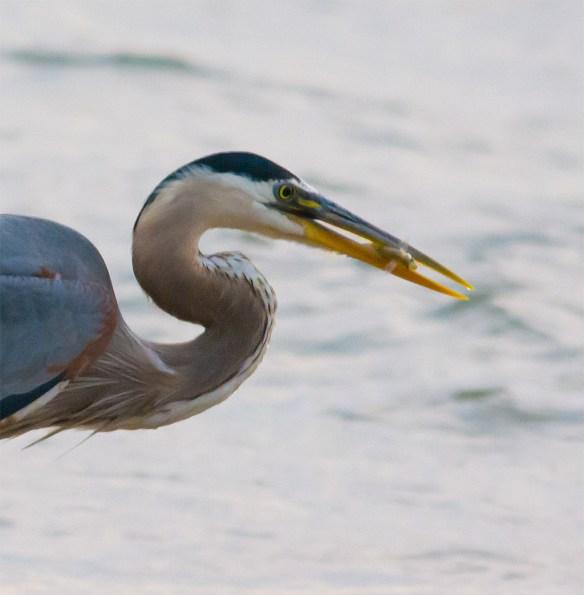 Great Blue Heron 321
