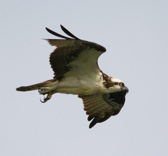 Osprey 353