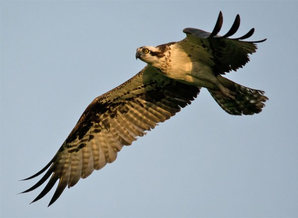 Osprey 355