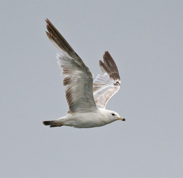 Ring Billed Gull 93