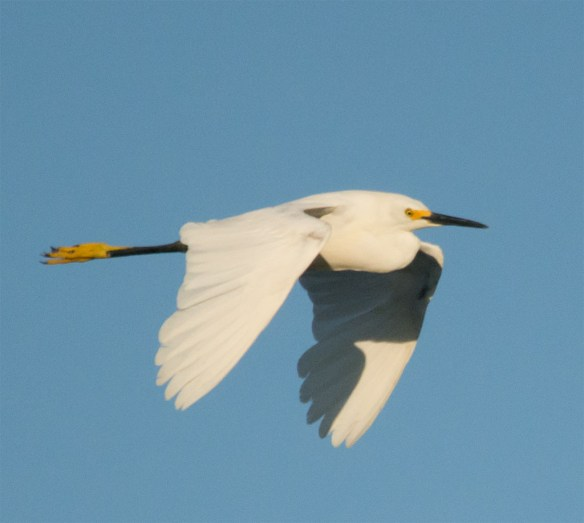 Snowy Egret 128