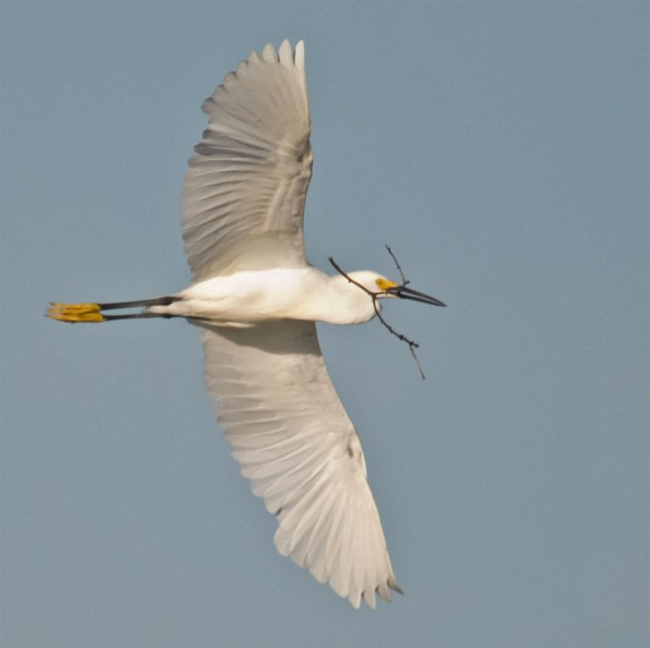 Snowy Egret 130